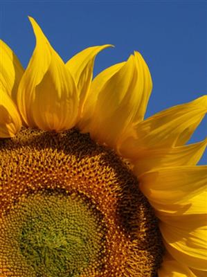 SUNFLOWER ORGANIC HIGH OLEIC